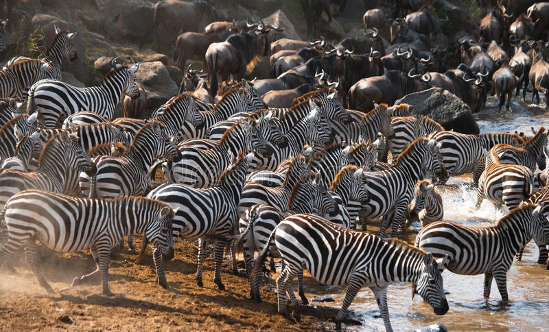 站立在河前面的斑马大牧群  肯尼亚 坦桑尼亚 国家公园 serengeti 马赛马拉 库存照片