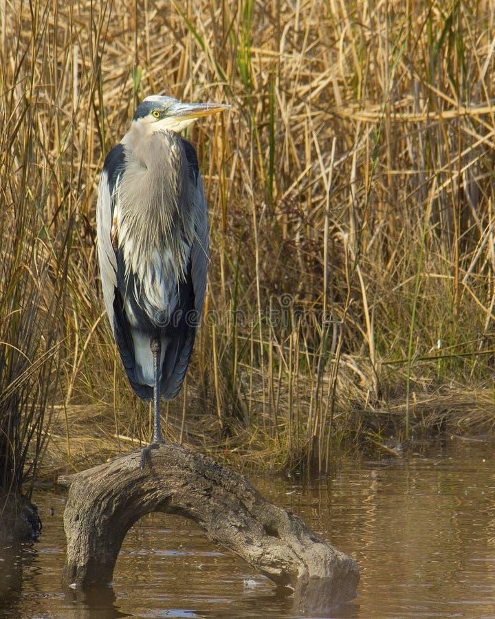 站立在注册水的苍鹭 免版税库存图片