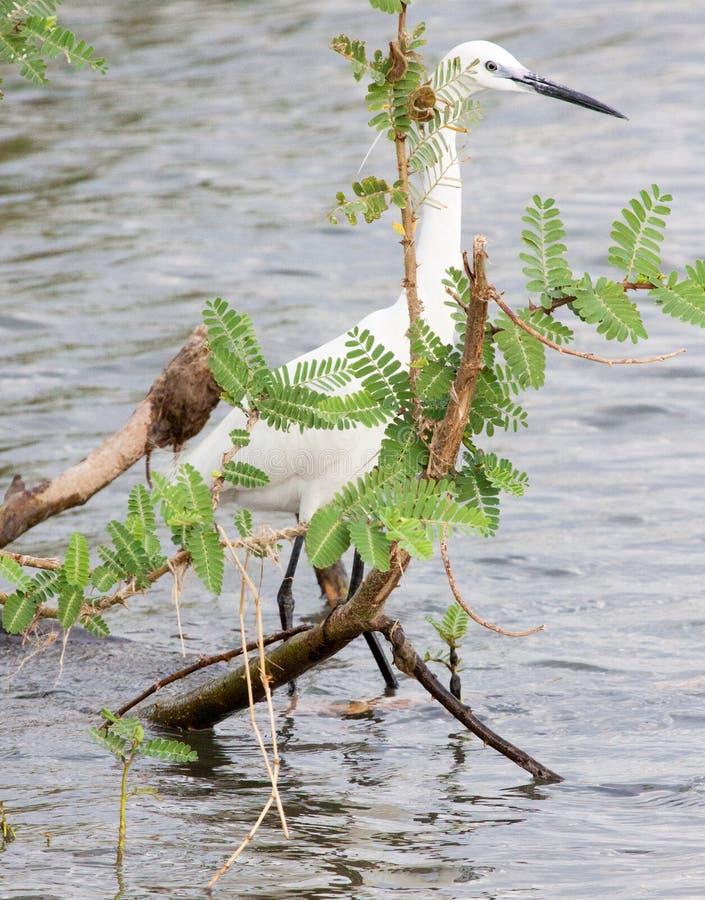 站立在浅水区的小白鹭掩藏在植物后 免版税库存图片