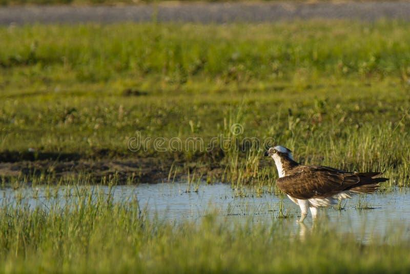 站立在浅水区的白鹭的羽毛 图库摄影