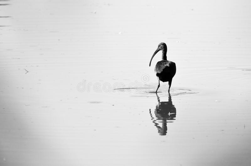 站立在浅池塘的现出轮廓的面无血色的朱鹭 图库摄影