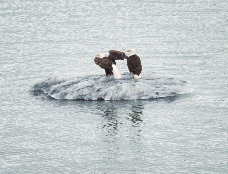 站立在浮动冰的白头鹰夫妇在阿拉斯加的水域中 库存照片