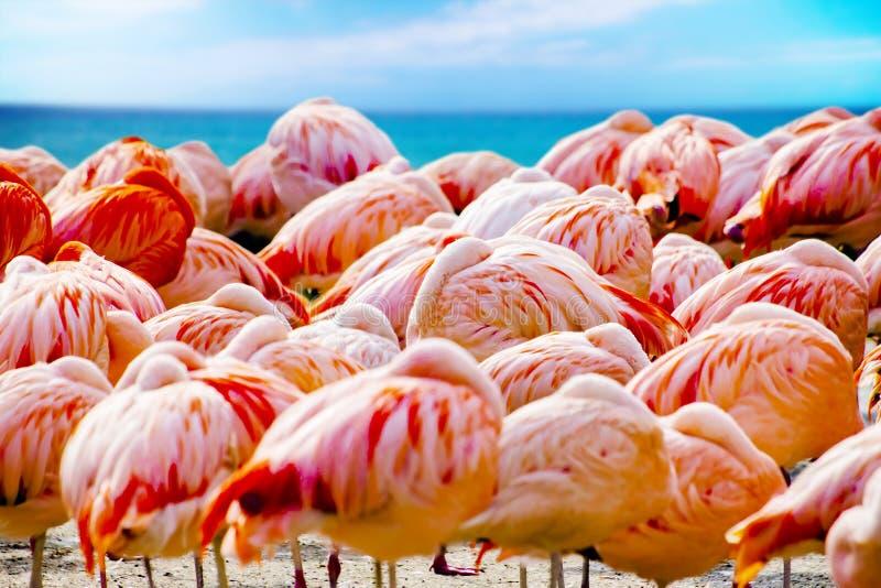 站立在海滩的小组桃红色火鸟在海附近 背景是海洋天空蔚蓝和水  这是背景  库存照片
