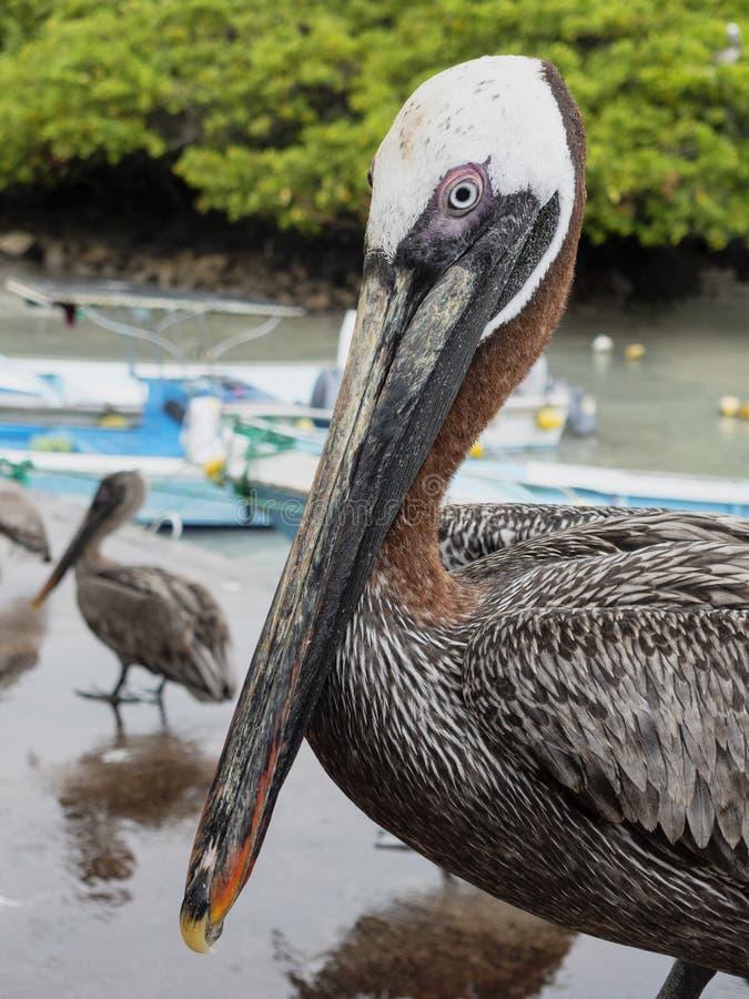 站立在海滩的布朗鹈鹕特写镜头 免版税库存照片