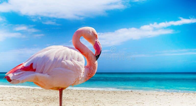 站立在海滩的火鸟接近的照片 有清楚的海和天空蔚蓝在背景中 它在古巴位于, 库存图片