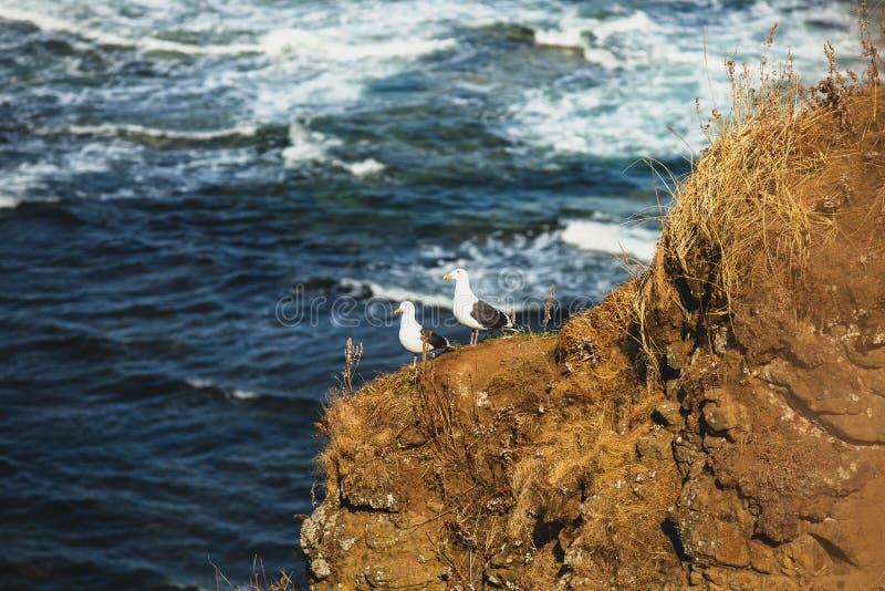 站立在海背景的小山的海鸥鸟 白色和灰色海鸥的图象坐海滩 免版税图库摄影