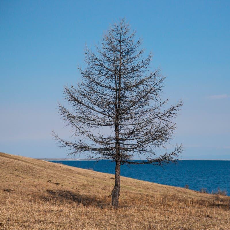 站立在海滩的孤立树 免版税库存照片