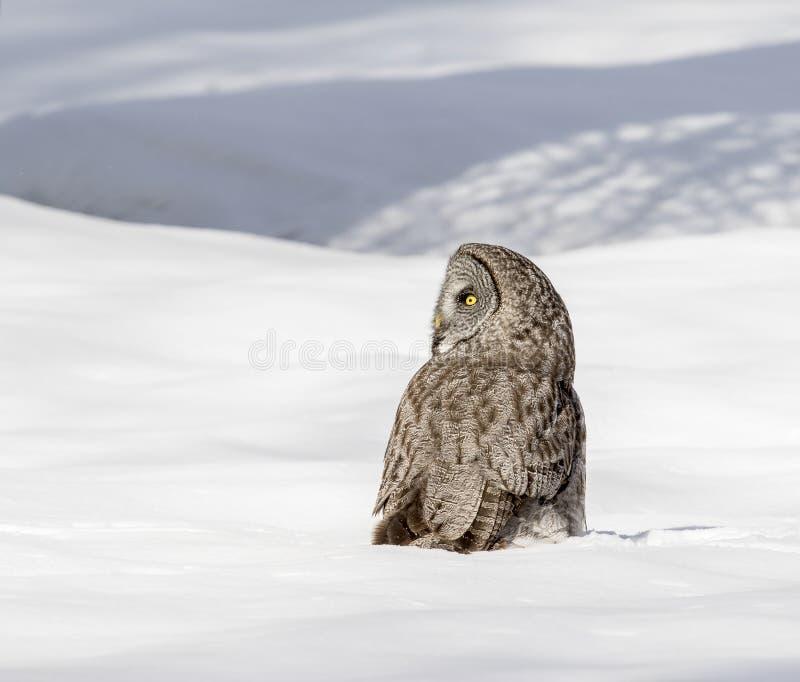 站立在深雪的巨大灰色猫头鹰在草甸 库存照片
