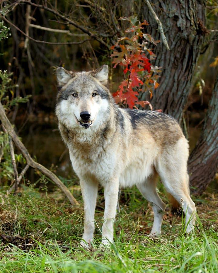 站立在清洁的狼 图库摄影