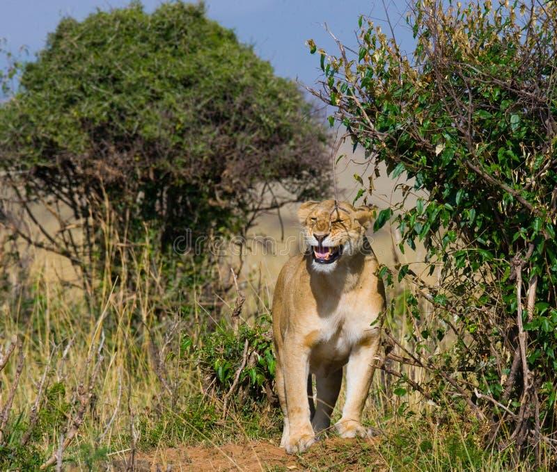 站立在灌木的雌狮 大草原 国家公园 肯尼亚 坦桑尼亚 mara马塞语 serengeti 免版税图库摄影