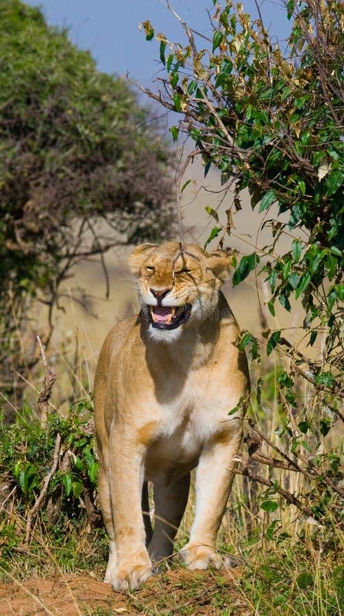 站立在灌木的雌狮 大草原 国家公园 肯尼亚 坦桑尼亚 mara马塞语 serengeti 库存图片