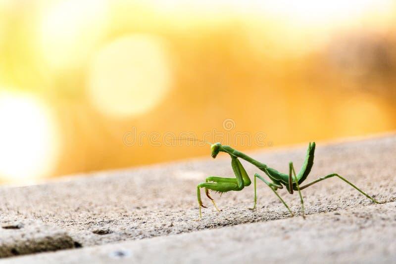 站立在灰色甲板的特写镜头鲜绿色的掠食性螳螂注视着在肩膀照相机橙黄背景 免版税库存图片