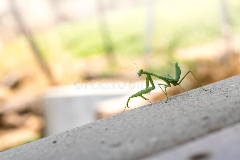 站立在灰色甲板的鲜绿色的掠食性螳螂剪影看在肩膀照相机 免版税库存图片