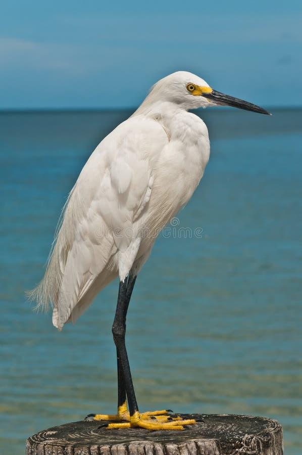 站立在热带海滩的木打桩的白鹭 库存图片