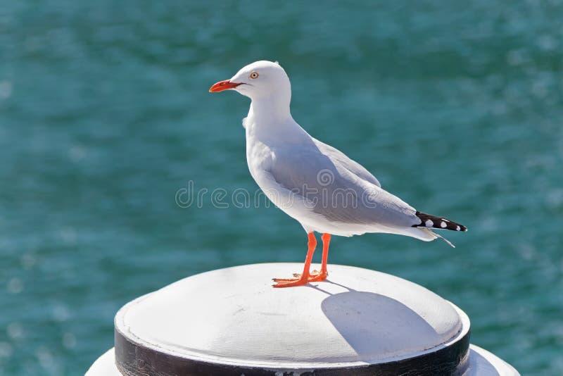 站立在白色木杆的银色鸥海鸟在悉尼Harb 库存图片