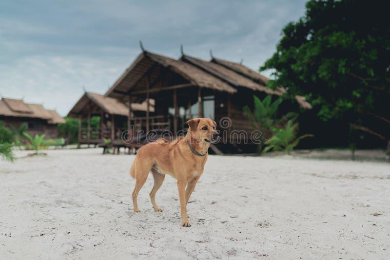 站立在白色沙子的金黄头发狗在海滩 库存照片