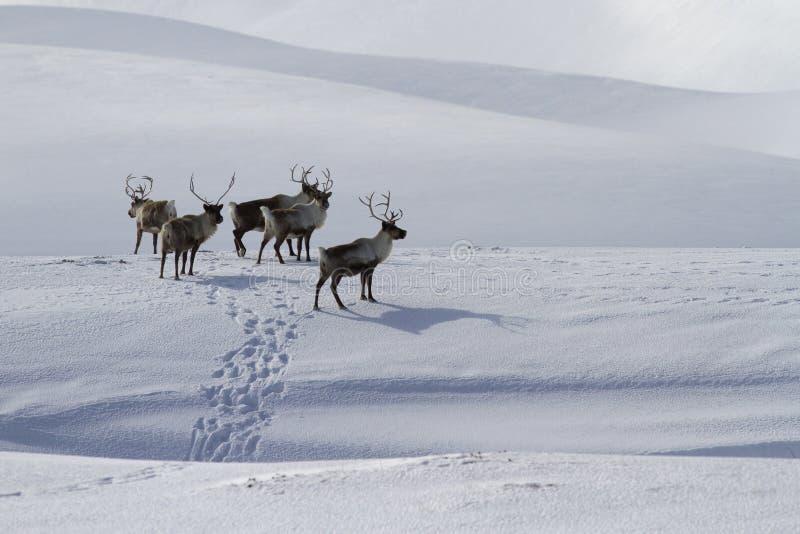 站立在的积雪的小山wi的驯鹿小牧群 免版税库存照片