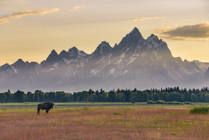 站立在盛大Tetons前面的一个五颜六色的领域的孤立女性北美野牛在日落 库存图片