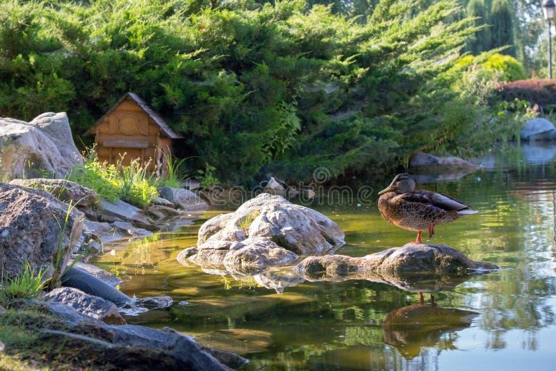 站立在石头的一只脚的布朗鸭子在池塘在夏天公园 野生生物概念 鸭子和它的反射在水中 库存照片