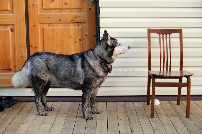 站立在空的椅子附近的多壳的狗 库存照片