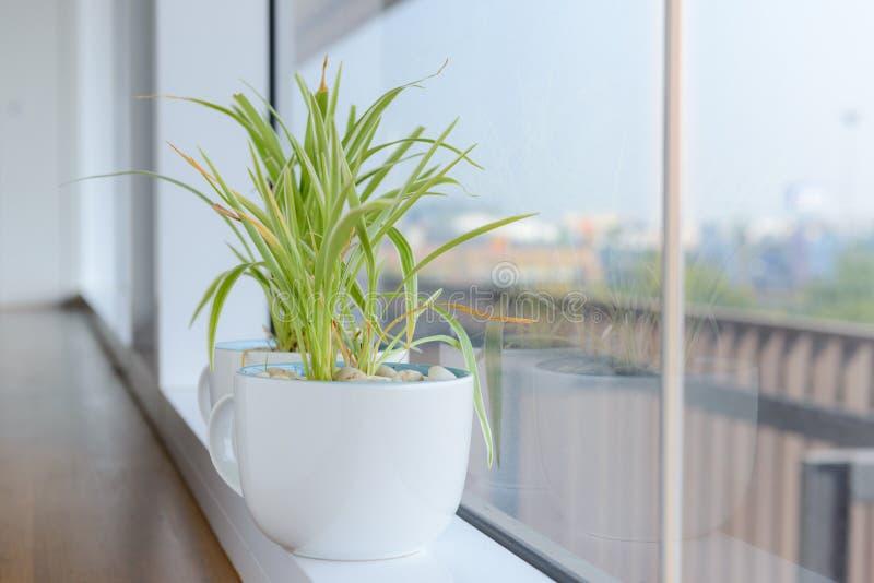 站立在窗台的白色陶瓷花盆的吊兰Chlorophytum 图库摄影