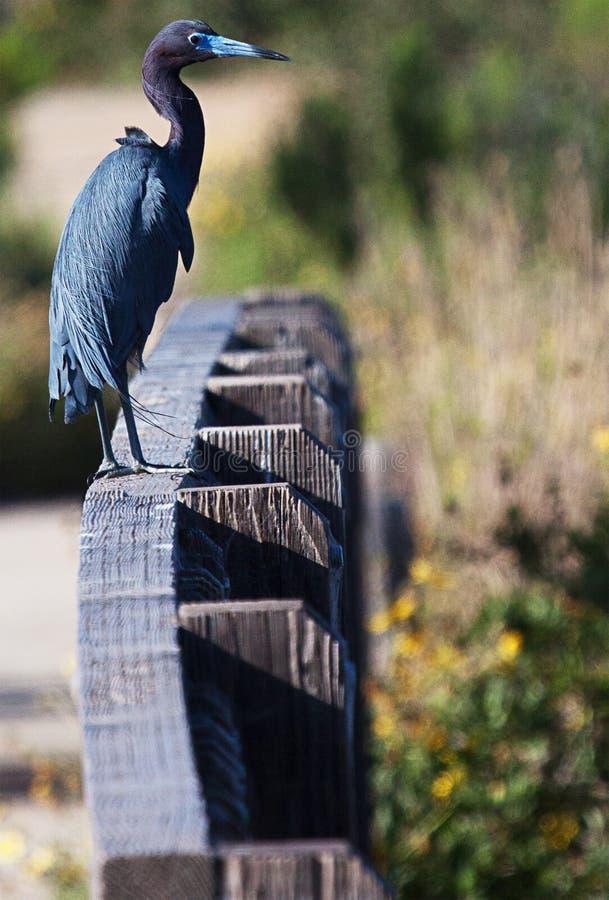 站立在篱芭的小的蓝色苍鹭 图库摄影