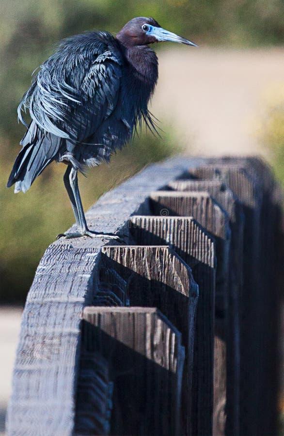站立在篱芭的小的蓝色苍鹭 库存照片