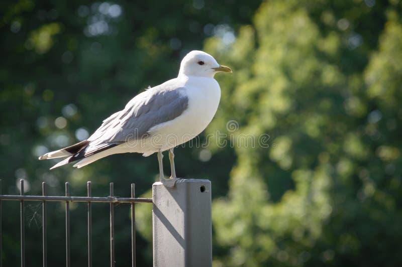 站立在篱芭的鸥属canus共同的鸥 免版税库存照片