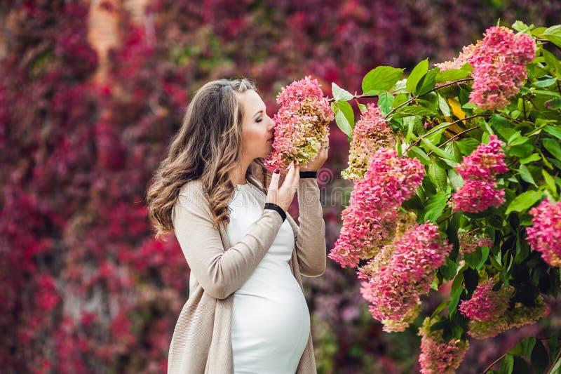 站立在红色秋天树篱的一个怀孕的少妇,嗅到花八仙花属 放松在的孕妇 免版税库存图片