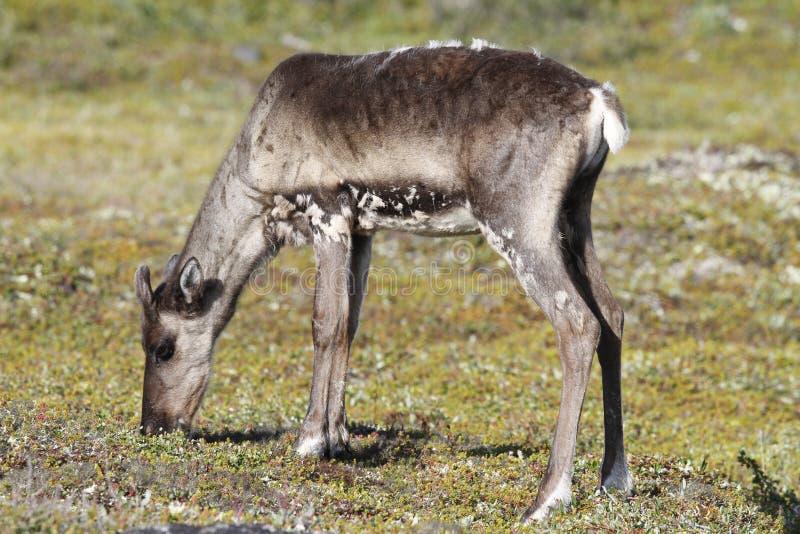 站立在绿色寒带草原的幼小贫瘠地面北美驯鹿在8月 库存照片