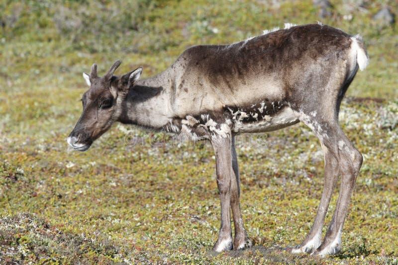 站立在绿色寒带草原的幼小贫瘠地面北美驯鹿在8月 库存图片