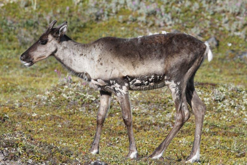 站立在绿色寒带草原的幼小贫瘠地面北美驯鹿在8月 免版税库存图片