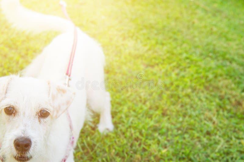 站立在绿草草坪的逗人喜爱的成人白色起重器罗素狗狗查寻在照相机 夏日阳光 家庭宠物 库存照片