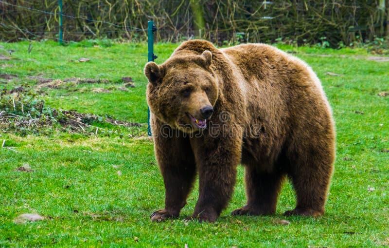站立在草、共同的动物在欧亚大陆和北美洲,普遍的动物园动物的一头棕熊的特写镜头画象 免版税库存图片