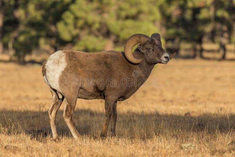 站立在草甸的大角野绵羊Ram 免版税库存照片