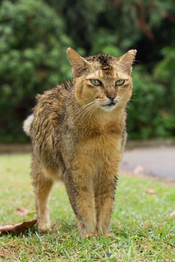 站立在草的一只湿棕色颜色离群猫在有嫉妒的公园 库存图片