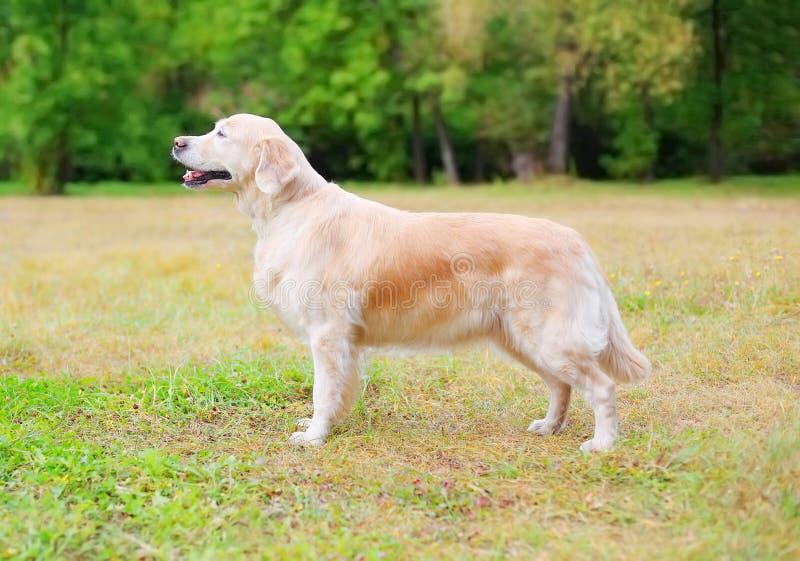 站立在草的愉快的金毛猎犬狗在公园,描出侧视图 免版税库存照片