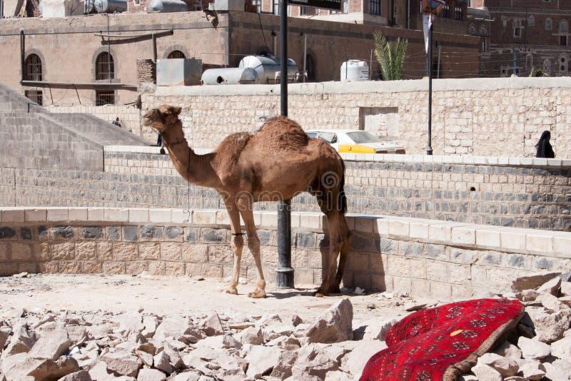 站立在萨纳,也门的骆驼 免版税库存图片