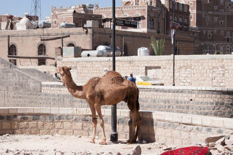 站立在萨纳,也门的骆驼 库存图片