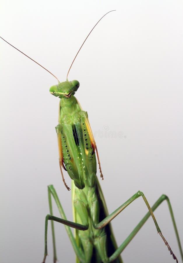 站立在螳螂 免版税库存图片
