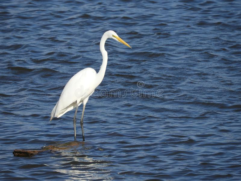 站立在被淹没的日志的伟大的白鹭 库存图片