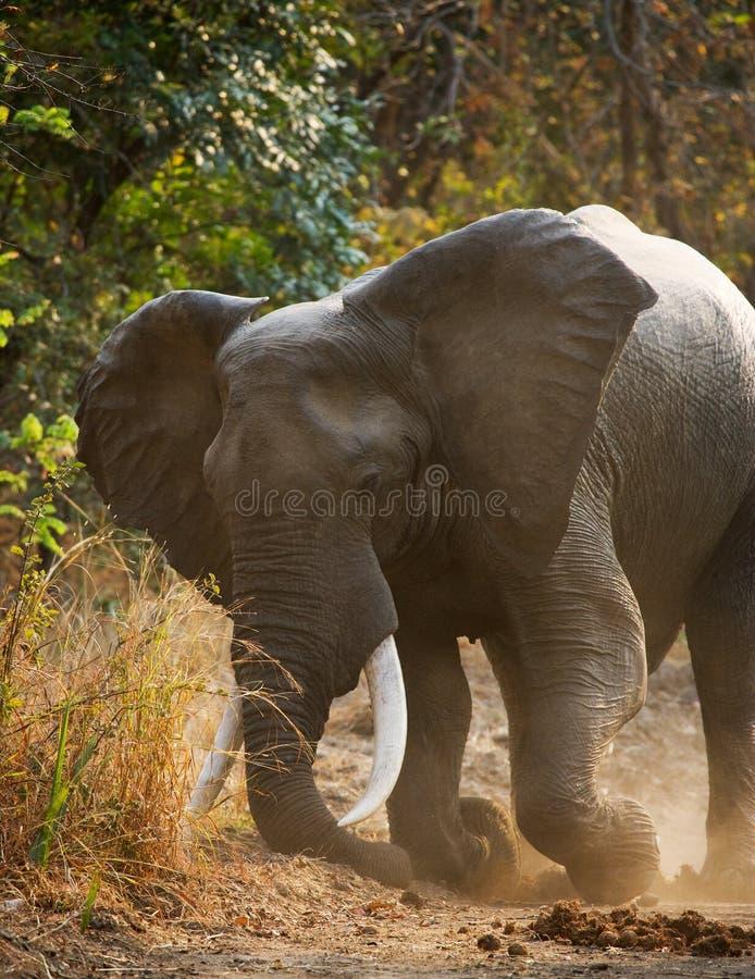 站立在路的恼怒的大象 赞比亚 南luangwa国家公园 免版税库存图片