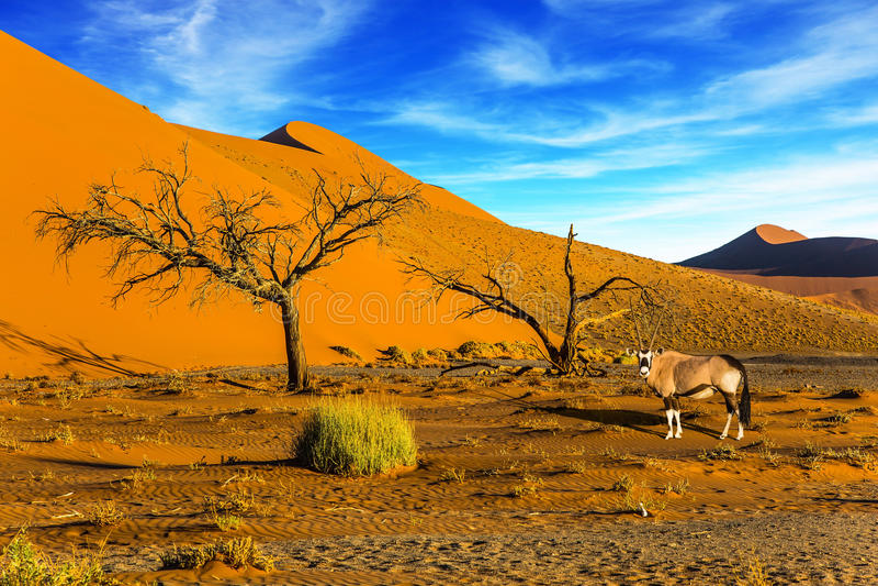 站立在路的非洲羚羊属gaselle 库存图片