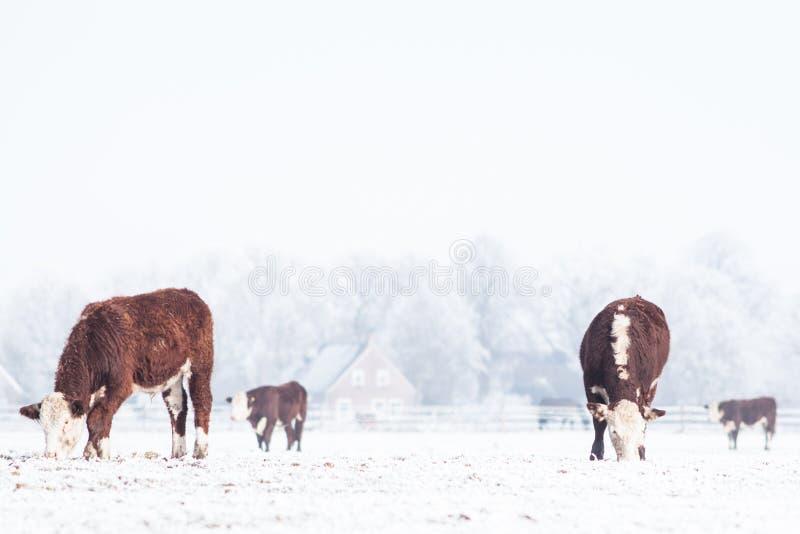 站立在雪的母牛 免版税库存照片