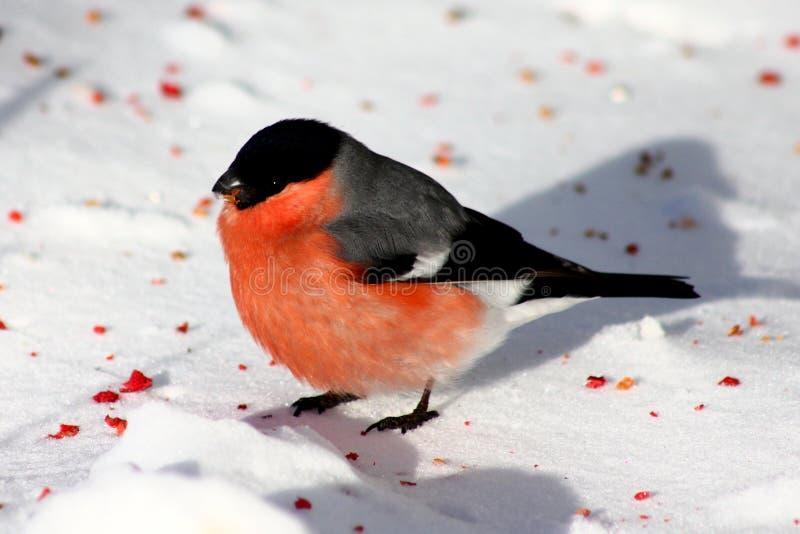 站立在雪的红腹灰雀 图库摄影