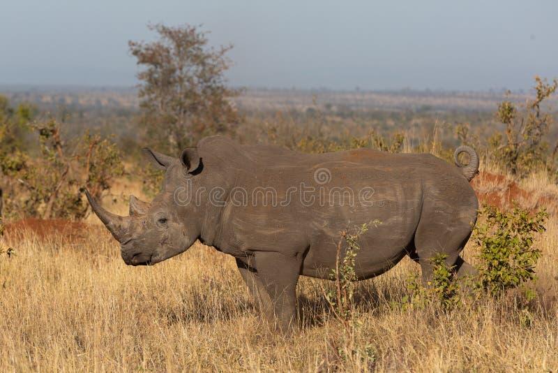 站立在非洲大草原的南部的白色犀牛 库存图片