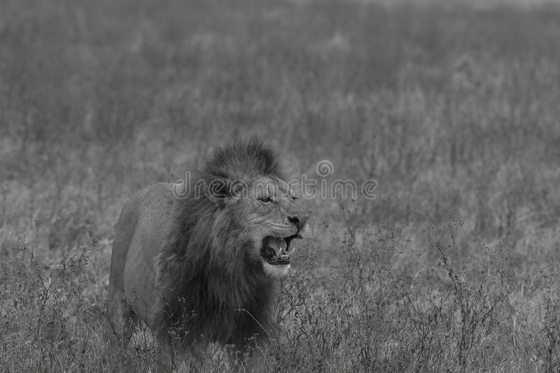 站立在领域的公狮子的黑白图象 图库摄影