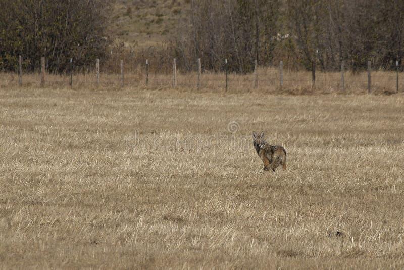 站立在领域的土狼 库存图片