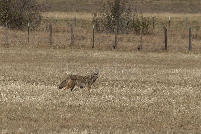 站立在领域的土狼 免版税图库摄影