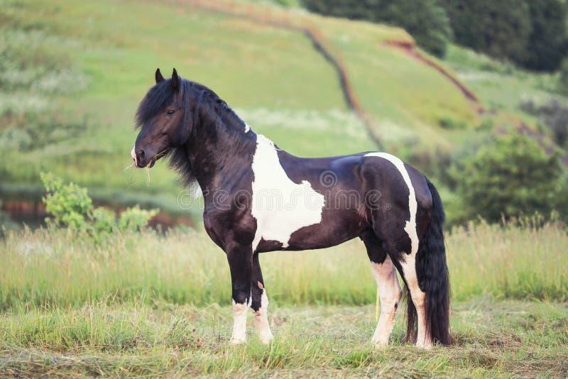站立在领域的起斑纹的马 库存图片